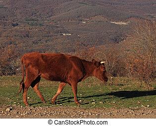 bull calf walking by path