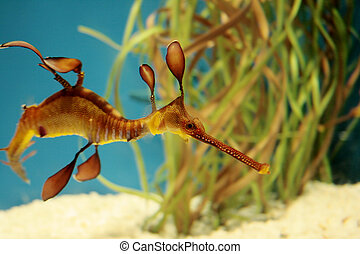 Seadragon fish swimming - Leafy sea dragon from the seahorse...