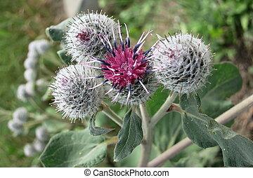 velloso,  Burdock, lanoso,  (arctium,  tomentosum), o