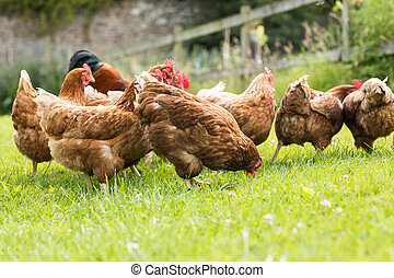 Chickens on a lawn - Free range chickens on a lawn pecking...