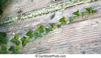 Shallow ivy - Photo of ivy branch on wooden door (very...