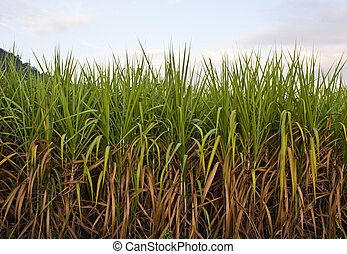 sugarcane plantation  - sugarcane plantation