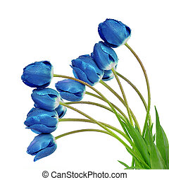 dewy blue tulips isolated on white background