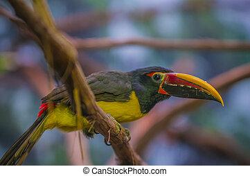 Greem Aracari - Pteroglossus viridis - Green Aracari Bird -...