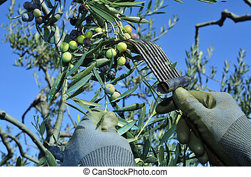 harvesting arbequina olives in an olive grove in Catalonia,...