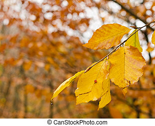 yellowing leaves - autumn, yellowing leaves on a tree branch