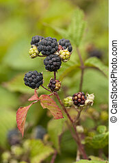blackberry bush - ripe fruits blackberry Rubus caesius on...