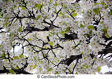 Blossoming spring branches with flowers. Photo background...
