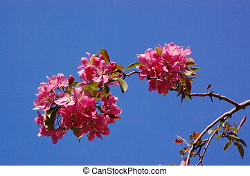 Blossoming spring branch with pink flowers - Blossoming...