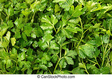 wet parsley - background from wet parsley