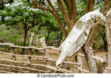Cow Skull on a Fence - An old white cow skull on a fencepost