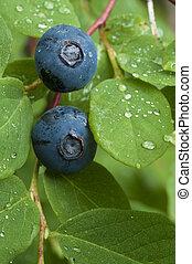 Wild blueberry - Macro closeup of wild blueberry fruit on...