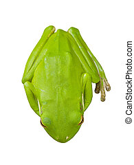 Green Australian tree frogs are docile and well suited to...
