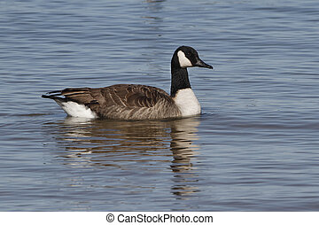 Canada Goose Swimming in Lake Huron