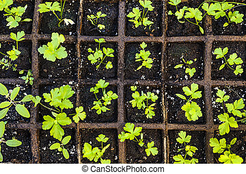 Seedlings growing in starter tray - Seedlings of herbs and...