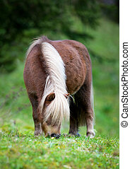 Shetland pony eating grass at field outdoor.