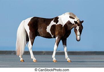 Shetland pony - conformation - Shetland pony standing...