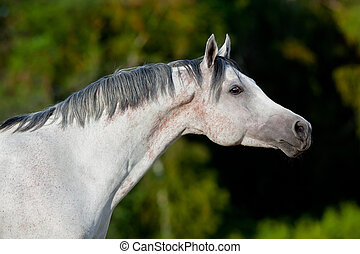 Arabian horse on green background - Arabian gray horse...