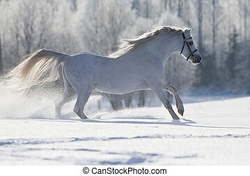 White horse runs in winter