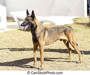 Belgian Shepherd Dog Malinois - A young, beautiful, black...