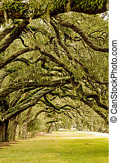 Oak Limbs Over Grassy Lane - A grassy park overhanging with...