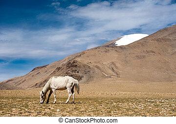 White wild horse at Himalaya mountains India - White wild...
