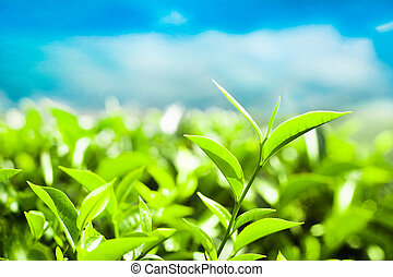 Tea leaves at plantation India, Munnar - Tea leaves at...