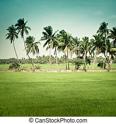 Nature background. Green texture of rice field with coconut...