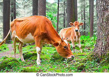 Farm animal Cow and little calf at grassy meadow in forest...