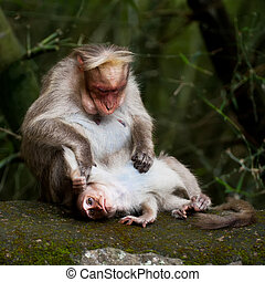 Mother macaque monkey cleaning her baby in bamboo forest. South India