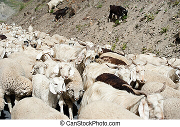 Herd of sheep and kashmir (pashmina) goats from Indian...