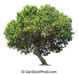 Big green oak tree