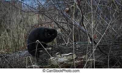 Cat - Feral black cat