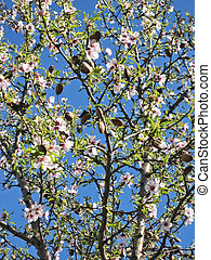Almond blossom tree - almond blossom at tree in spring, blue...