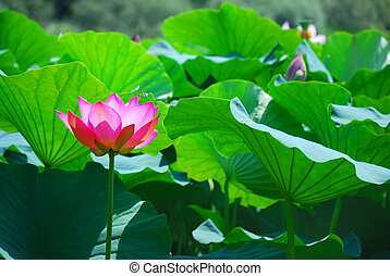 Beautiful lotus - Beautiful pink lotus is a water flora