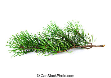Pine tree twig on a white background
