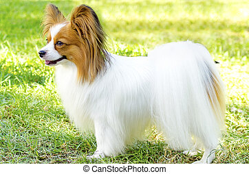 Papillon dog - A small white and red papillon dog aka...