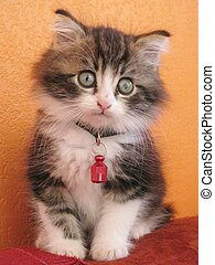 Kitten - A tabby baby cat with a red bell