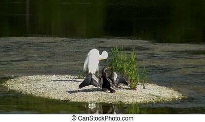 Anhinga and Egret preening on a small island