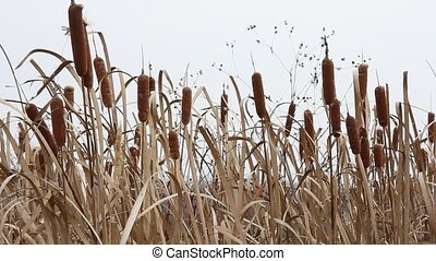 Dry grass reed on the meadow. Autum
