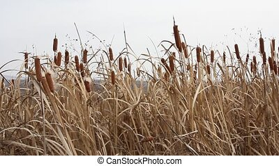 Dry grass reed on the meadow Autumn time HD