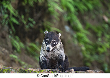 white nosed coati - Male white nosed coati sits on a rock...