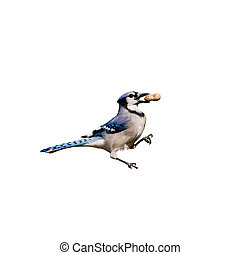 bluejay holding a peanut in its beak