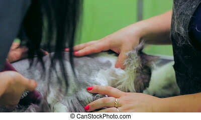 Groomer at work - Groomer shaving a cat