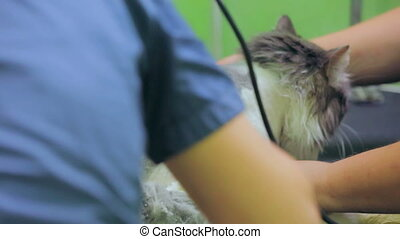Shaved cat - Scared cat being shaved at a veterinary clinic