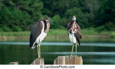 Young Herons on post