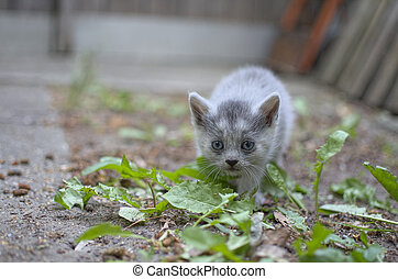 Curious Kitten Sneaking - Curious Grey Kitten Sneaking...