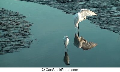 Two Egrets in shallow water