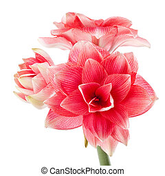 Hippeastrum quot;Double Dreamquot; isolated on the white...