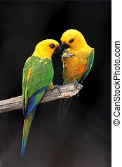 Parrot Pair - Pair of yellow headed parrots on a perch